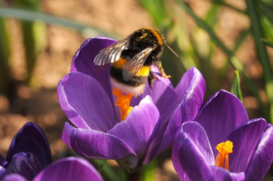Met vroegbloeiende bloembollen bedien je hongerige insecten en bijen in je tuin - Tuinieren met Buitenleven