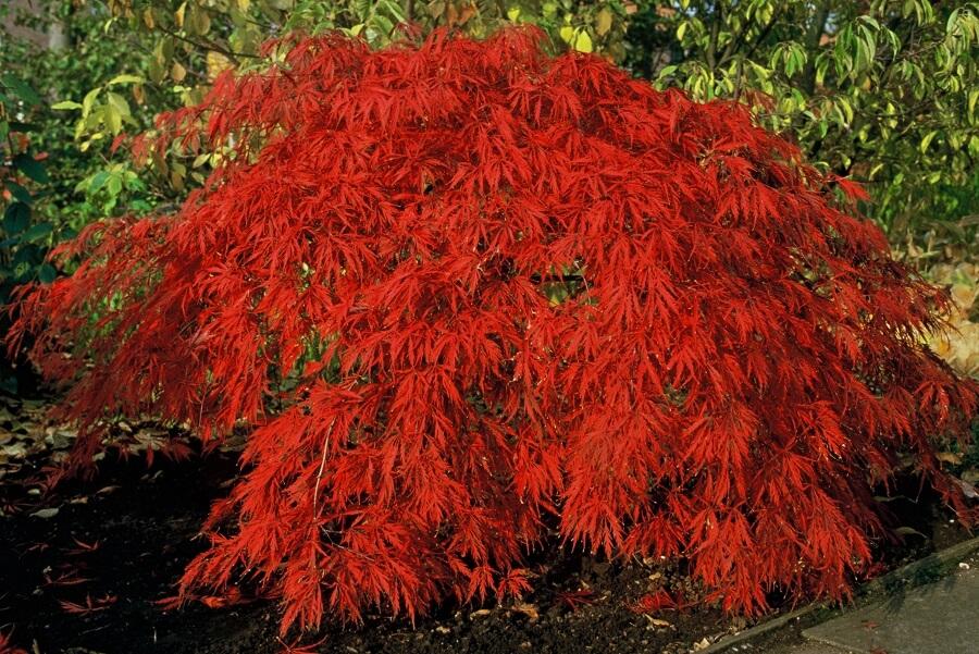 De Japanse esdoorn lijkt op een kleine boom maar heeft een brede, spreidende groeiwijze. Foto iVerde