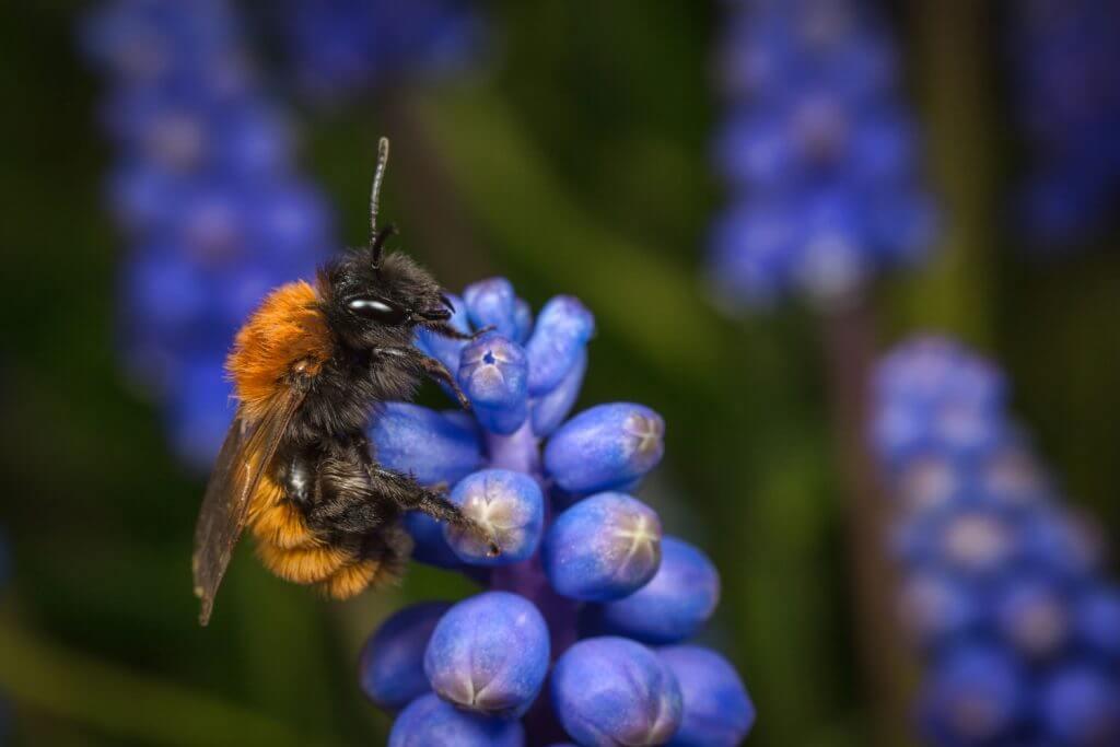 Zandbijen ofwel Andrena's vormen de grootste groep wilde bijen in Nederland.