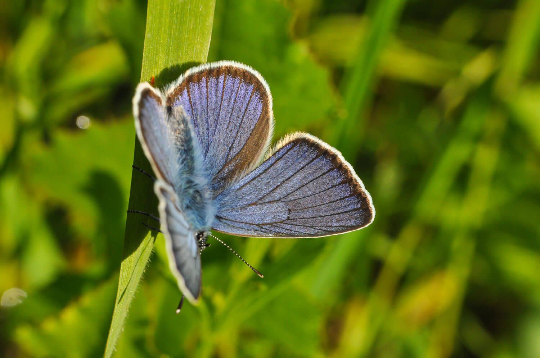 Het klaverblauwtje (Cyaniris semiargus) verdween in 1974, maar lijkt weer te zijn teruggekeerd. De vlinder plant zich vrijwel elk jaar wel ergens in Zuid-Limburg voort.