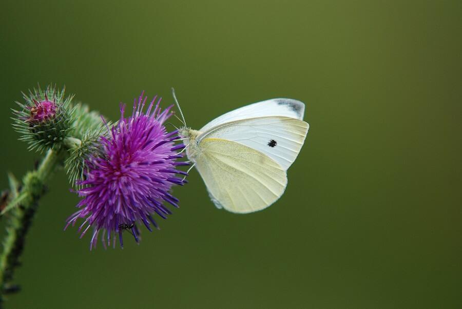 Vlinders herkennen in eigen land - Natuur met Buitenleven