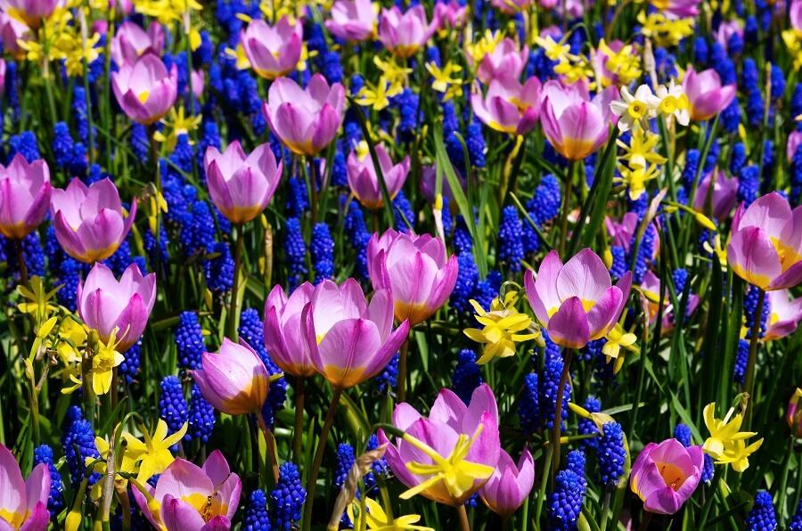 Voorjaarsbloeiers in de tuin: tips, kleuren en soorten - Buitenleven