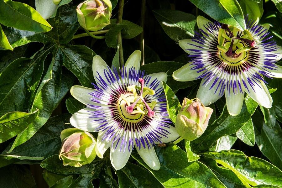 Passiebloem is geschikt voor de verticale tuin - Tuinieren met Buitenleven
