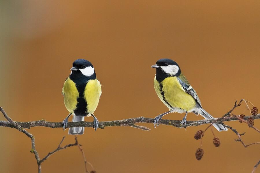 Koolmees in de tuin? Tips en weetjes over deze tuinvogel - dieren met Buitenleven