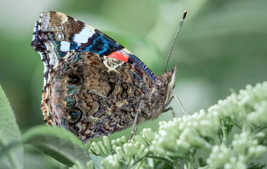 Aan de onderkant van de vleugels van de atalanta is het cijfer 18 te lezen, vandaar de bijnaam 'nummervlinder'.