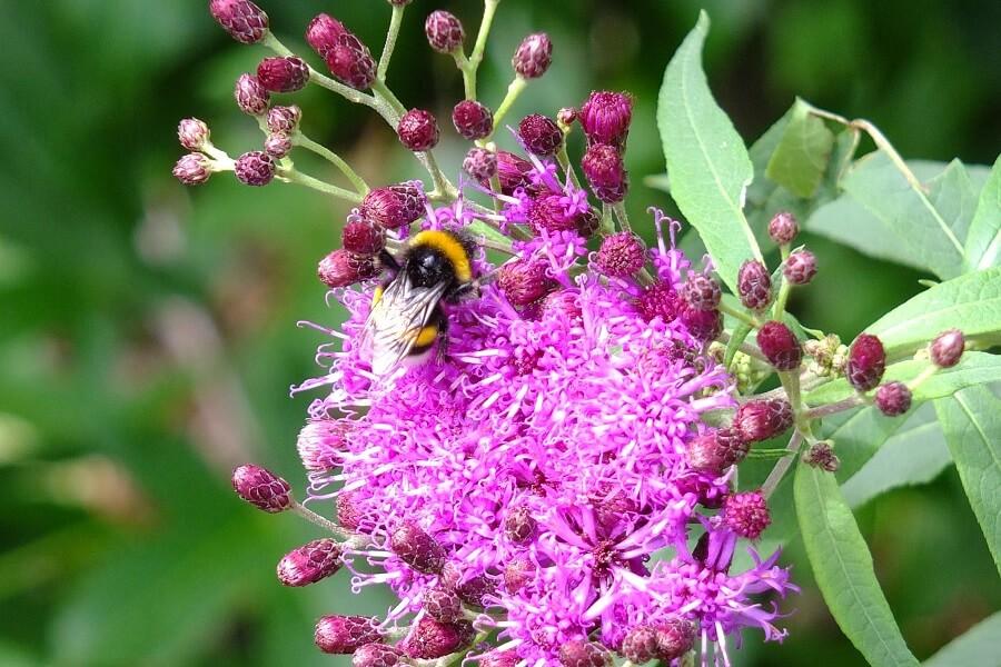 Hommels en bijen weten de kwastjes van ijzerkruid (Vernonia crinita) wel te vinden.