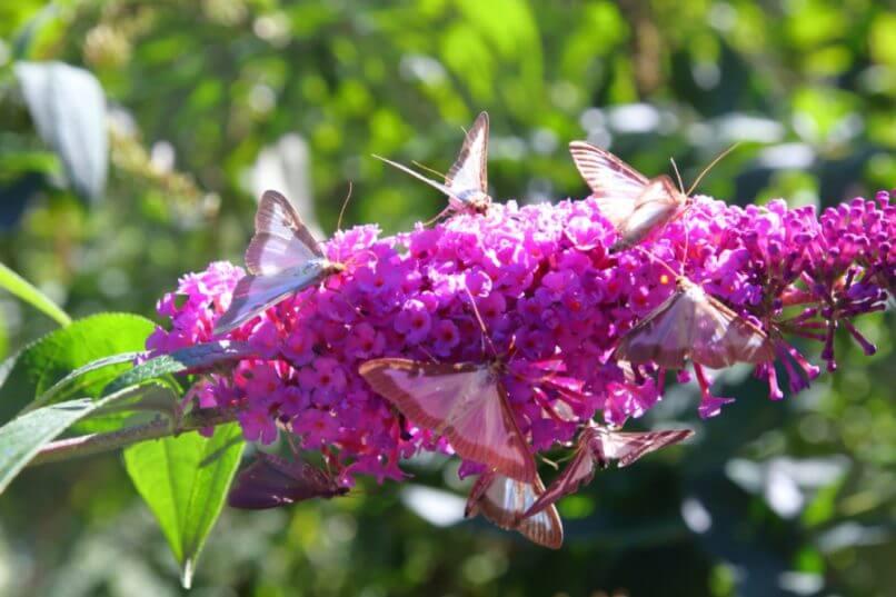Buxusmot als nachtvlinder en invasieve exoot – Buitenleven magazine