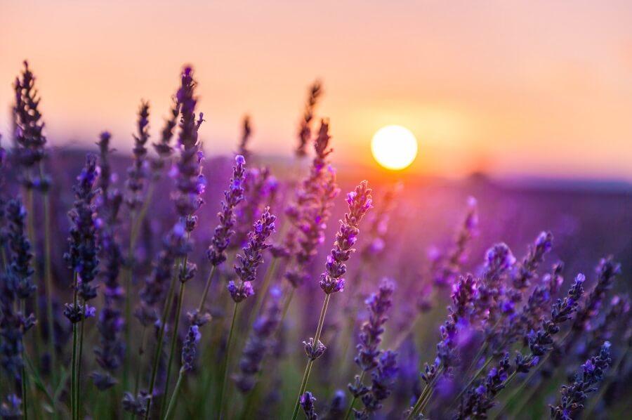 lavendel: soorten, snoeien en verzorgen - tuinieren met Buitenleven