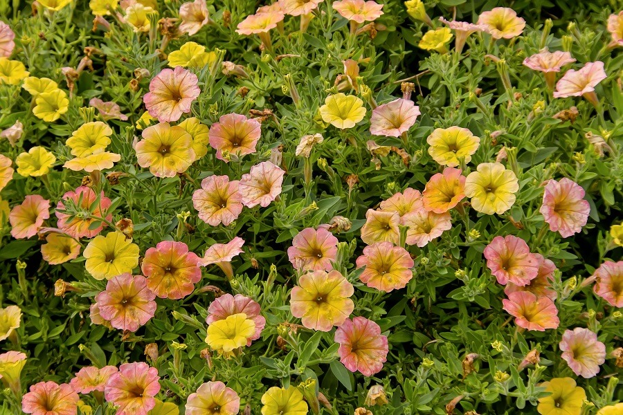 petunia Cascadias Indian Summer.