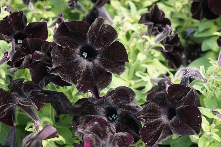 petunia-crazytunia-black-mamba_1411920563