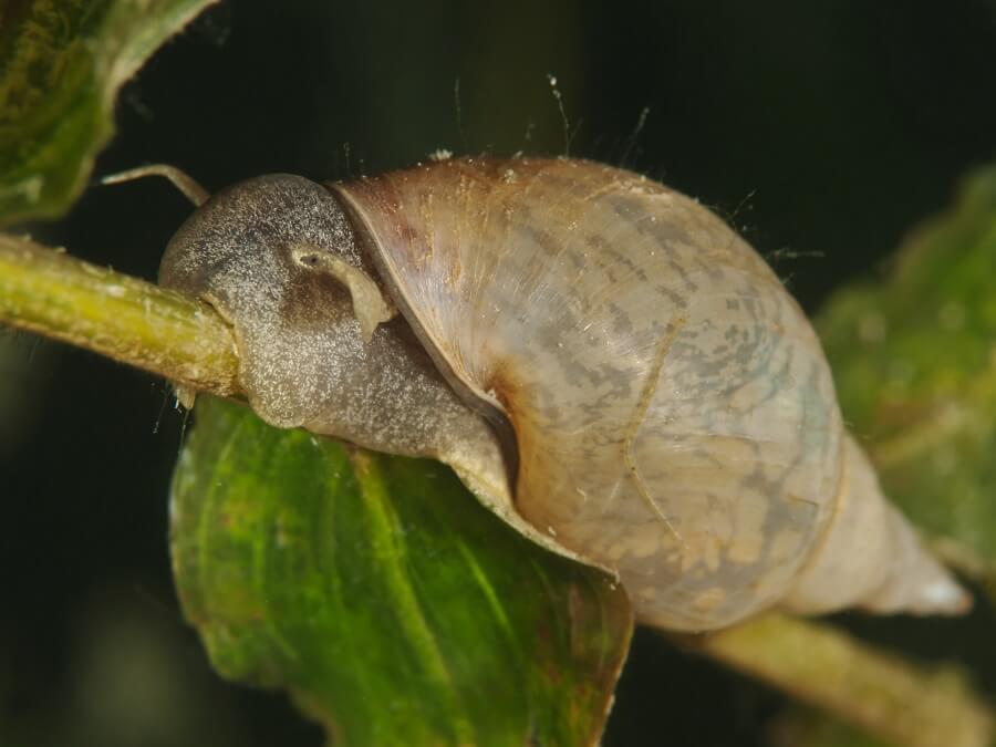 Er zijn nuttige slakken die ongewenste tuingasten elimineren – Natuur van Buitenleven magazine