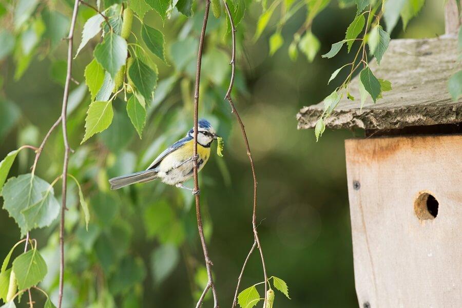 De pimpelmees komt graag naar je tuin in de winter, geef hem vetbollen en pindanetjes - vogelen met Buitenleven