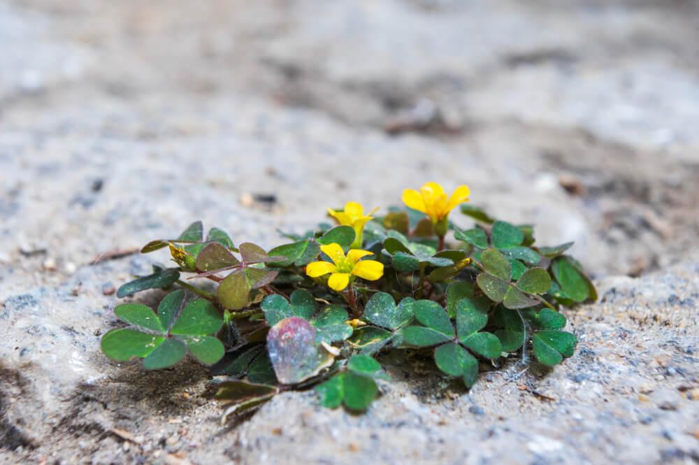 Springklaver bestrijden is niet zo gemakkelijk. Het onkruid verspreid zichrazend snel en moet daarom voor de bloei worden aangepakt. Buitenleven geeft tips.