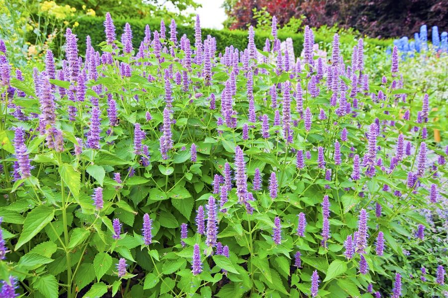 Dropplant (Agastache 'Blue Fortune').