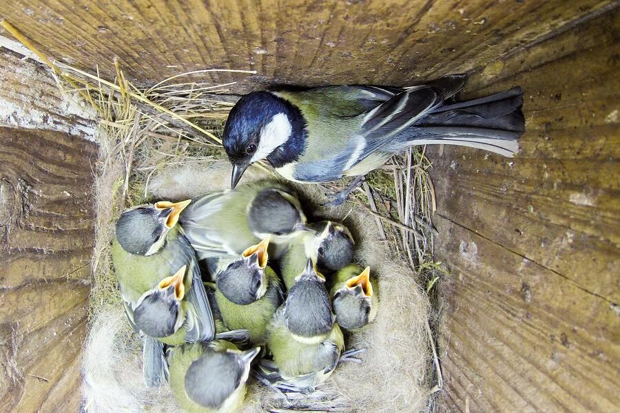 De koolmees zien we vaak in de tuin, zeker als je een nestkast ophangt – Natuur met Buitenleven