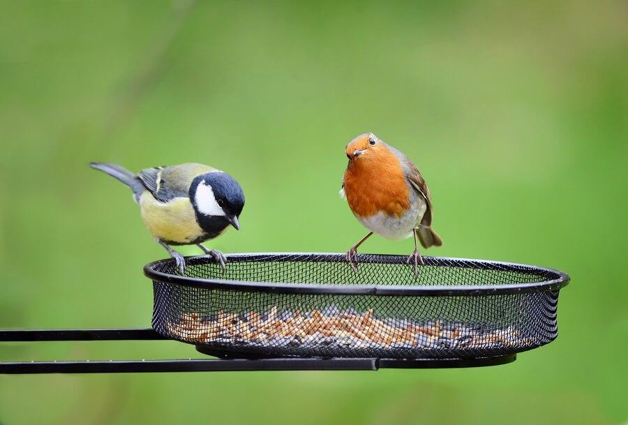 Het roodborstje is nieuwsgierig en bezoekt in de winter graag je tuin voor voedsel – Natuur Buitenleven