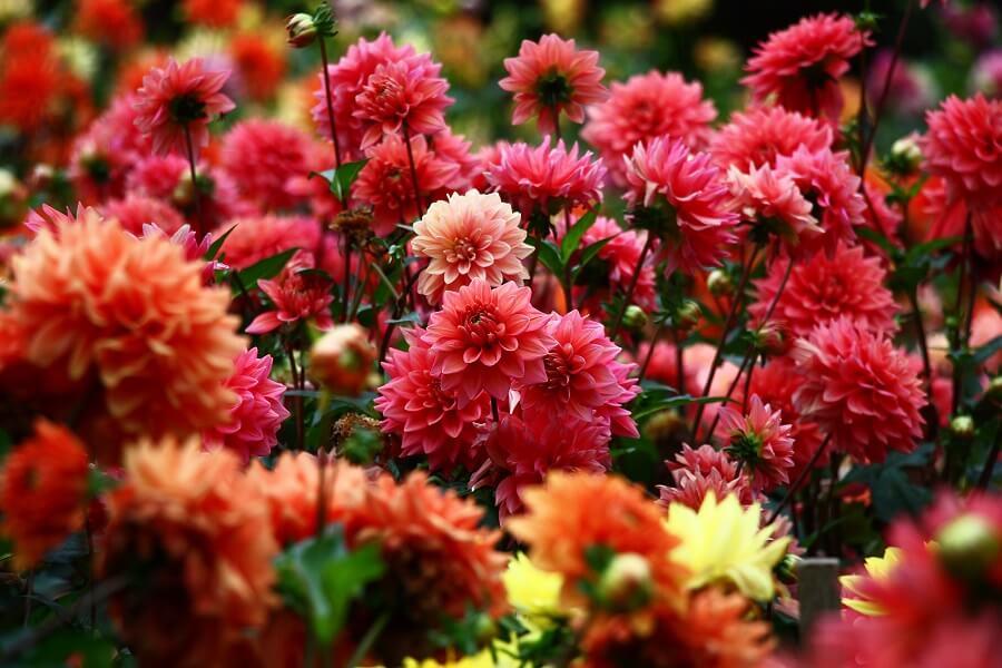 Een zee van roze, oranje en gele dahlia's fleuren je tuin enorm op.