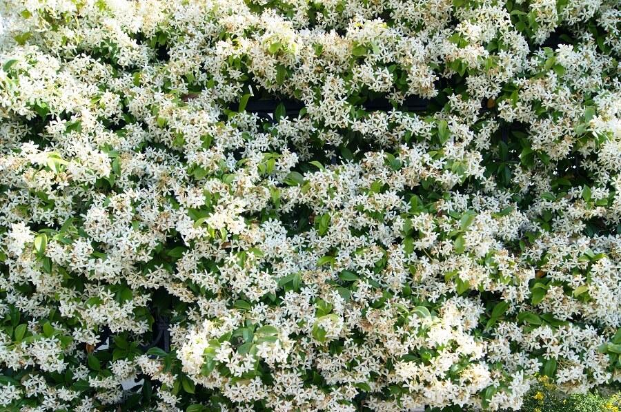 Toscaanse jasmijn geeft prachtige witte bloemen en geurt heerlijk.