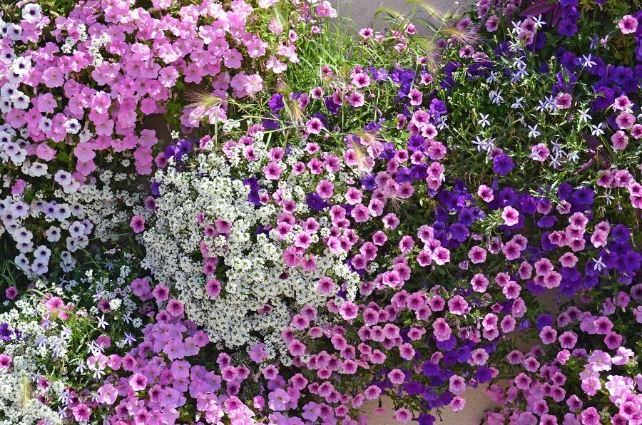 Petunia in de tuin of in pot: soorten en tips voor verzorging - Buitenleven